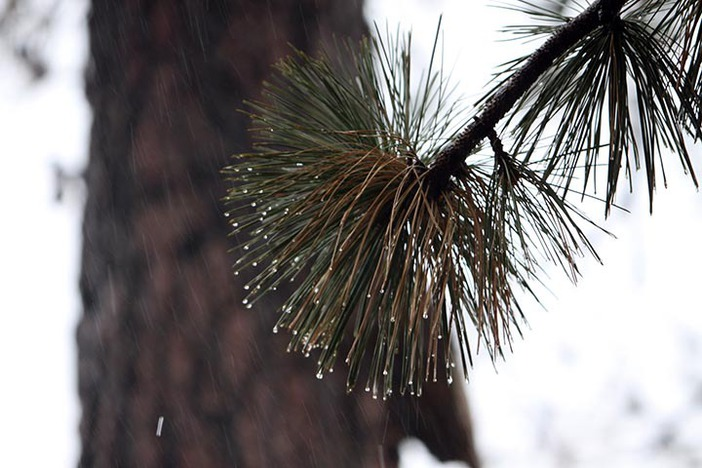 Rain drops falling off pine needles.