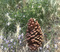 Lonely pine cone